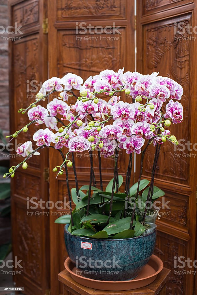 potted orchid flower stock photo