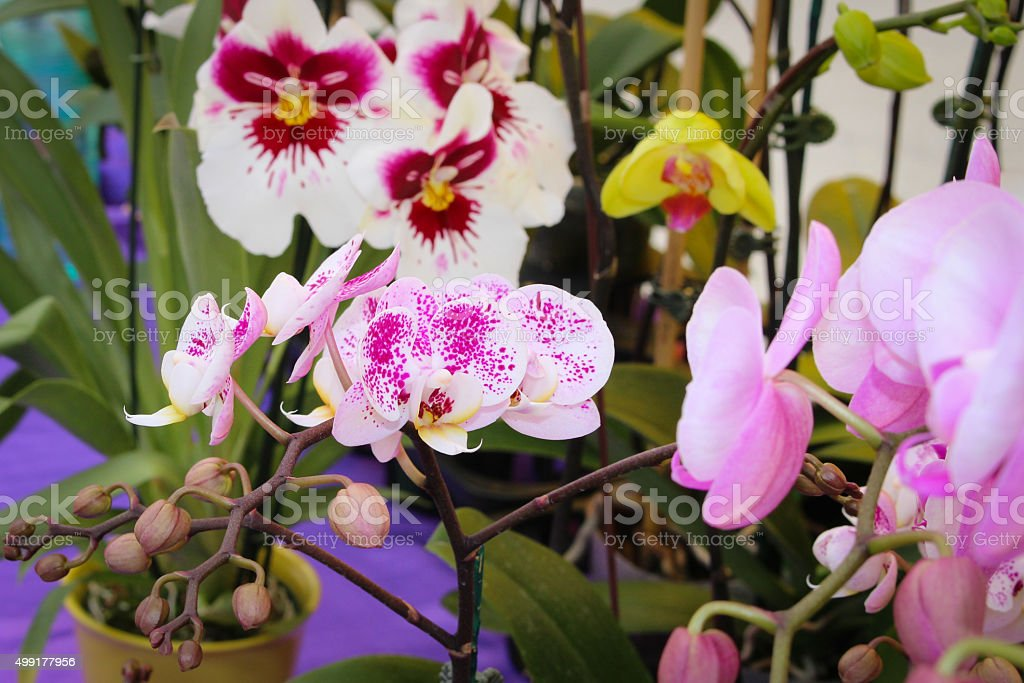 Potted Orchids stock photo