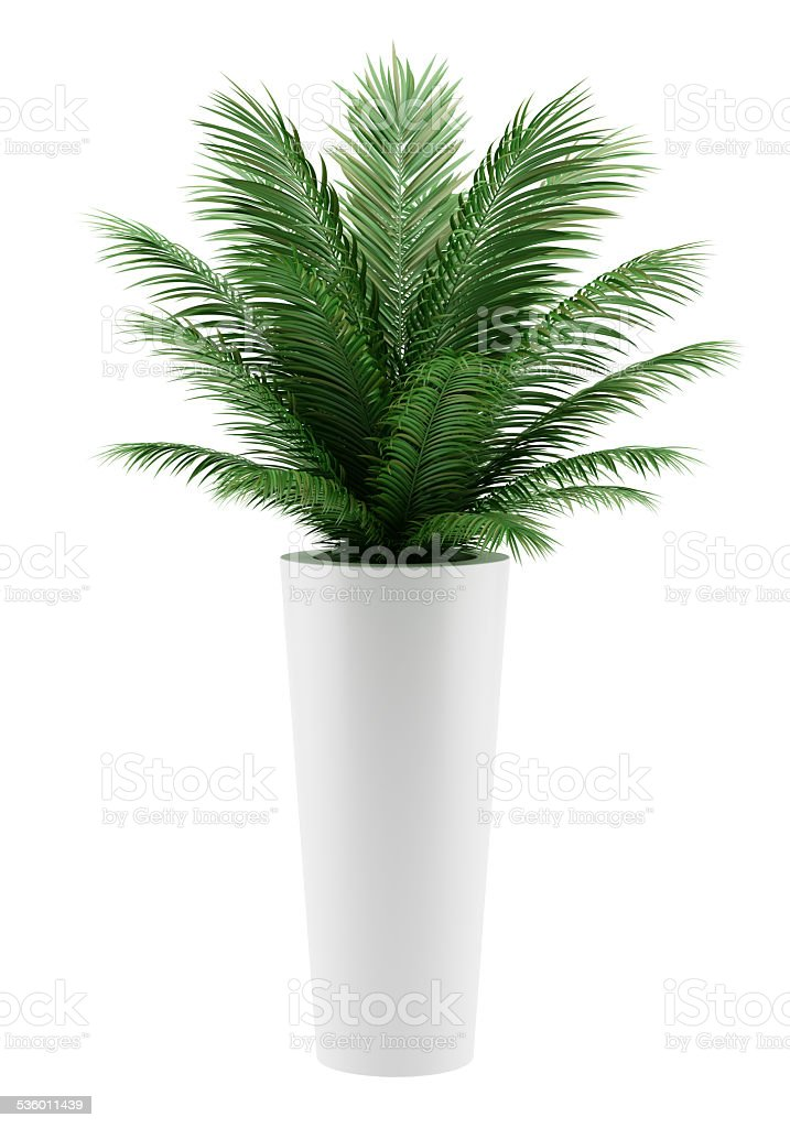 potted palm tree isolated on white background royalty-free stock photo