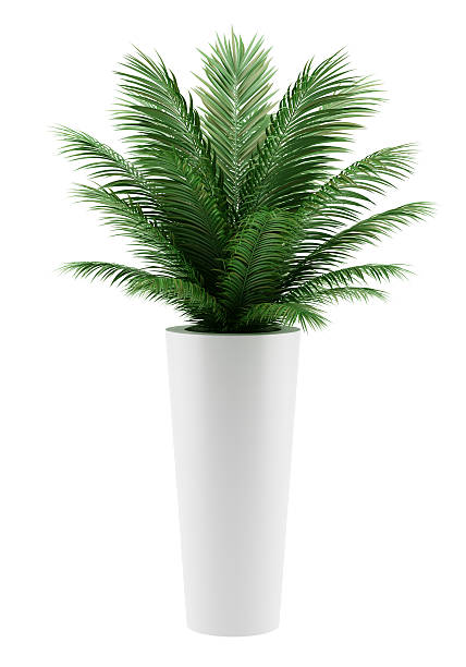 potted palm tree isolated on white background stock photo