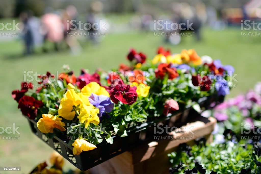 Potted Pansies stock photo