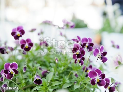 Potted pansy flowers