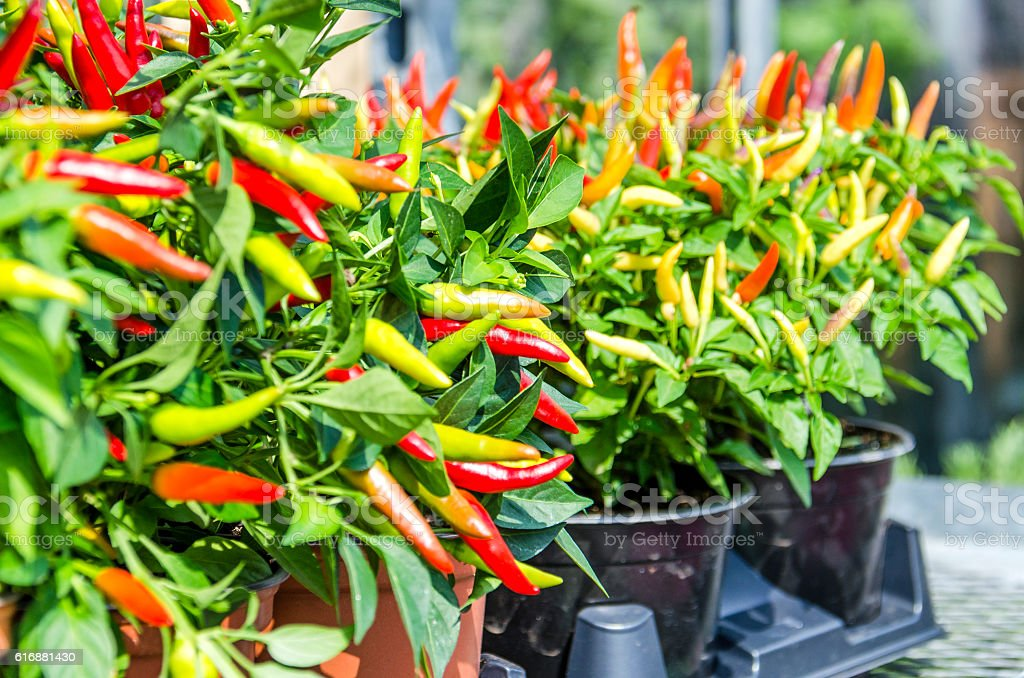 Potted pepper plants with red and yellow colors stock photo