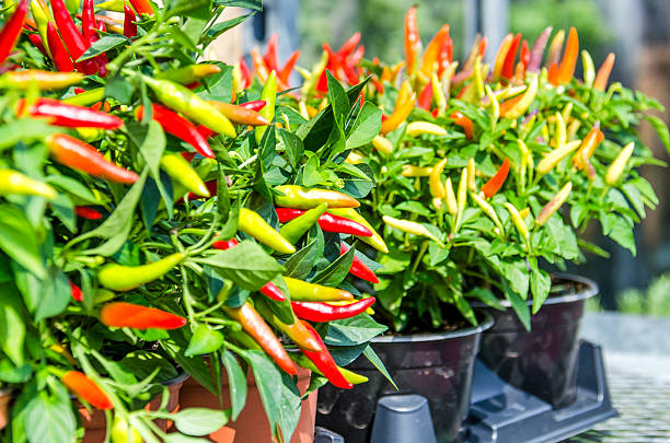 potted pepper plants with red and yellow colors - pimientos fotografías e imágenes de stock