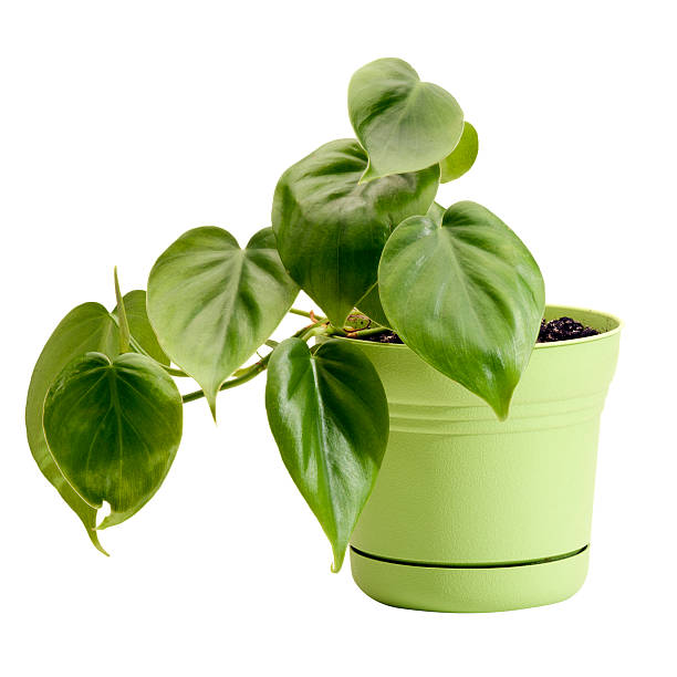 A potted philodendron in a green planter stock photo