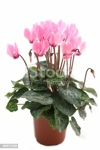 istock Potted pink cyclamen on white background 90922069
