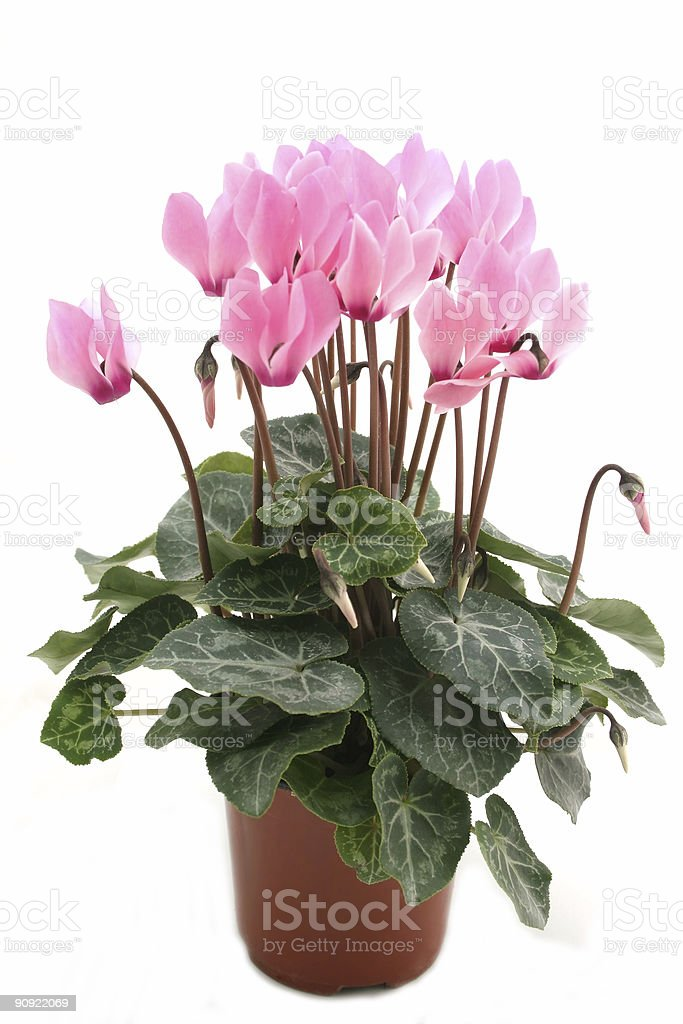 Potted pink cyclamen on white background stock photo