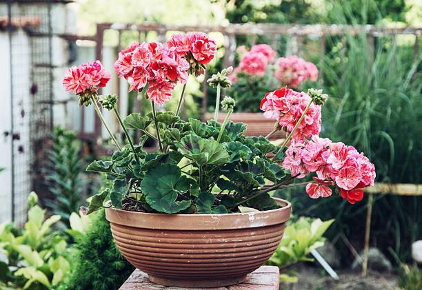 포팅 핑크 Pelargonium 꽃 정원 스톡 사진