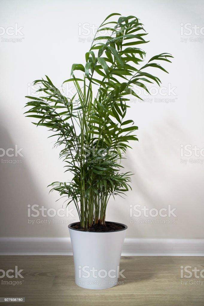 Eine Topfpflanze Chamaedorea Elegans isoliert auf weiss – Foto