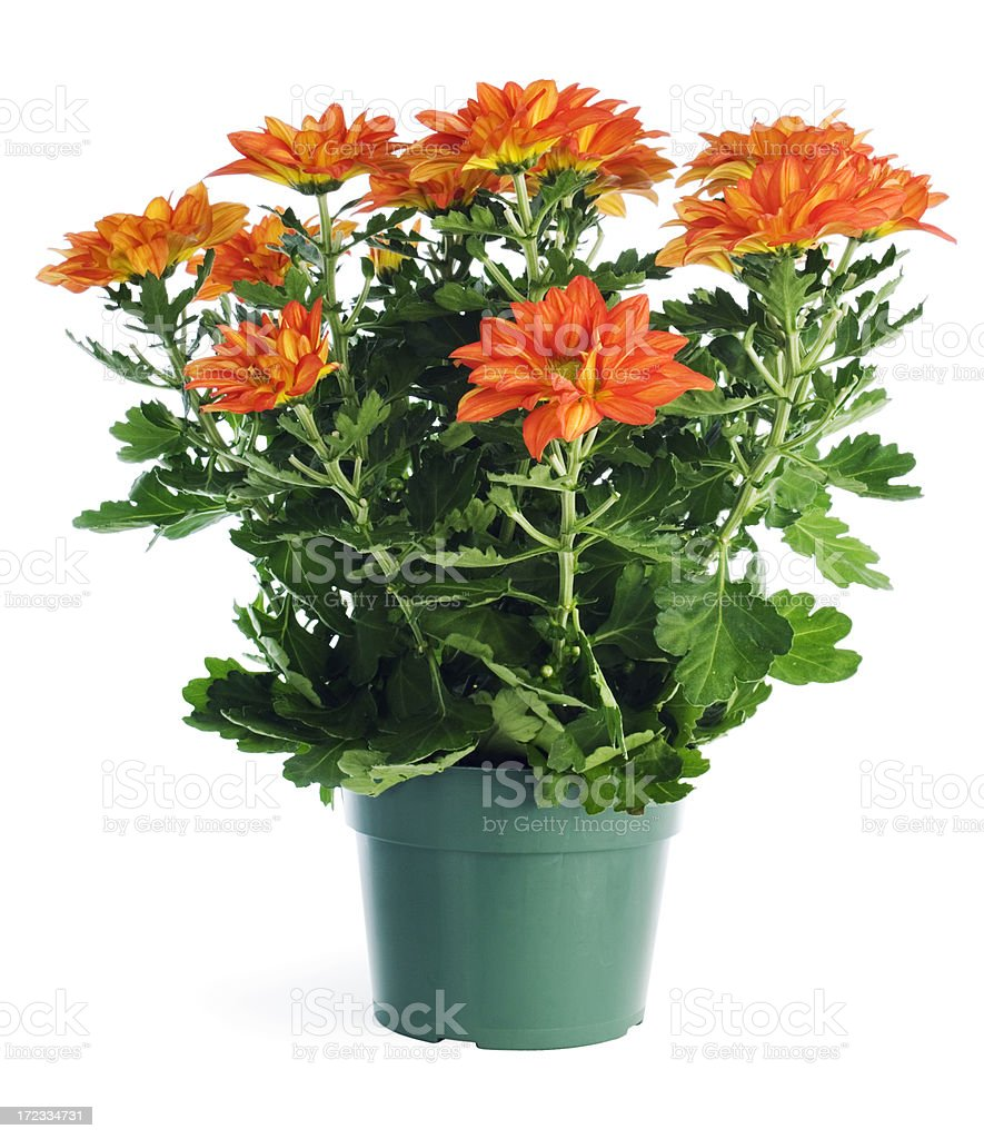Potted Plant Chrysanthemums in Garden Store Container, Isolated on White stock photo