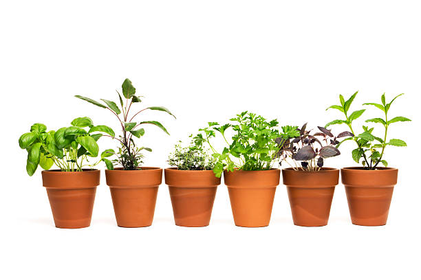 Potted Plant Herb Spice Garden in Spring Flower Pot Containers stock photo
