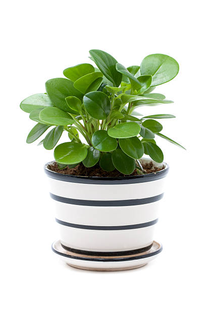 Potted plant isolated on white background stock photo