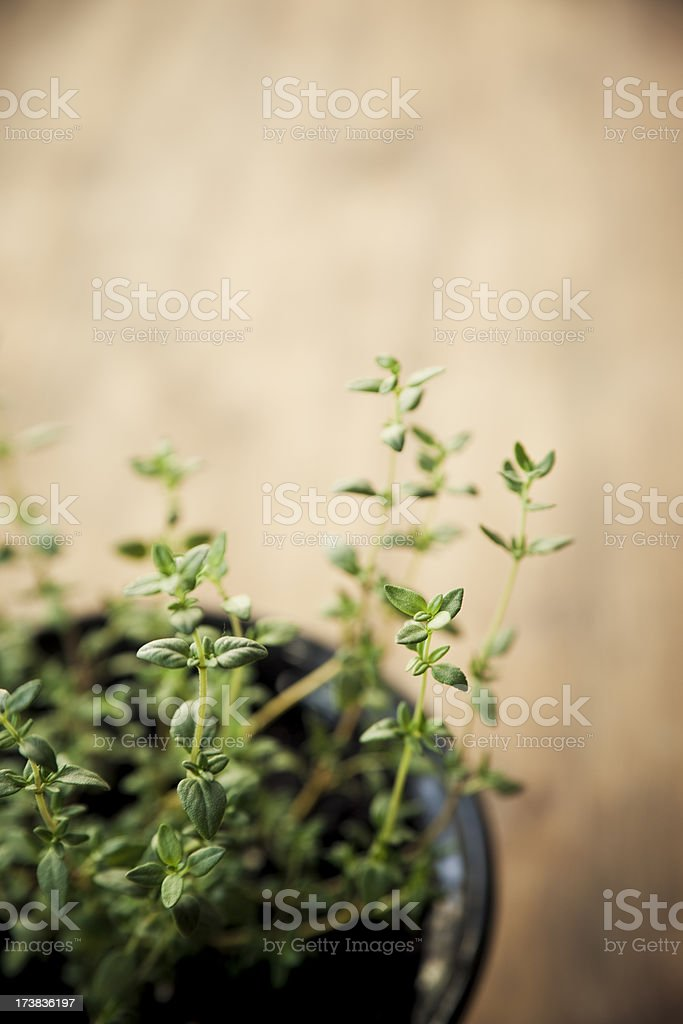 A potted plant of thyme and wood background royalty-free stock photo