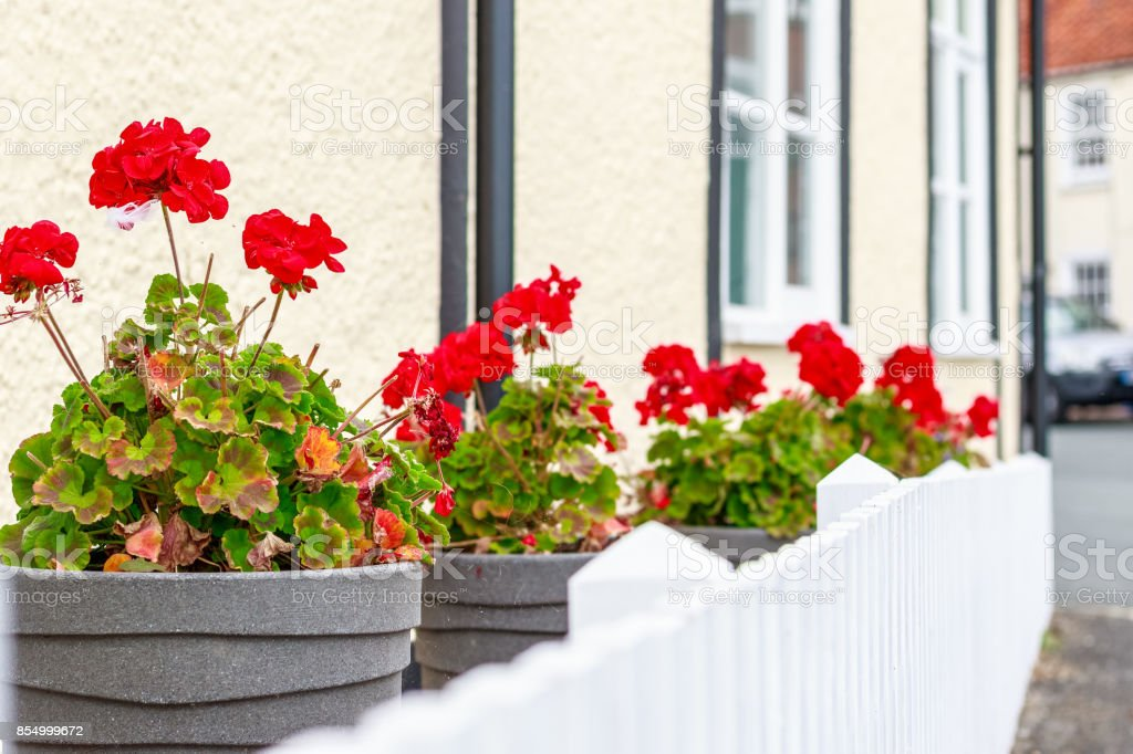 Potted Red Geranium Flowers For Decoration Outside An