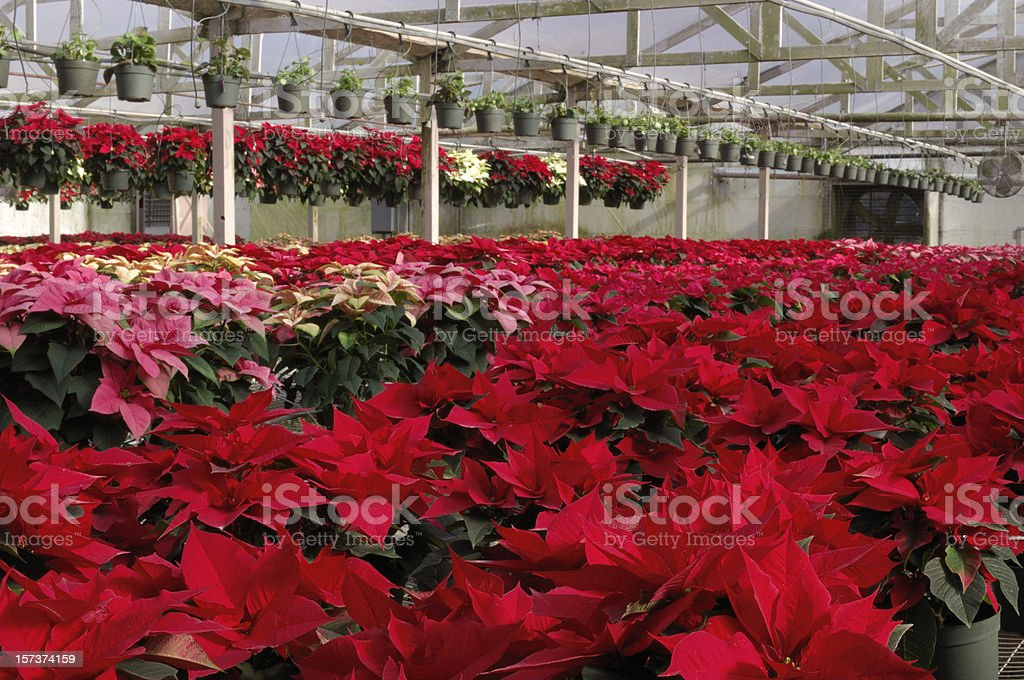 Potted Red Poinsettias Plants Growing in Greenhouse royalty-free stock photo