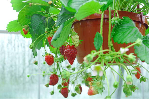 Potted Riped Garden Strawberry Hanging In Greenhouse stock photo