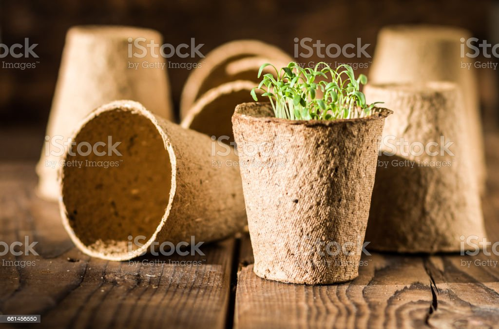 Potted seedlings growing in biodegradable peat moss stock photo