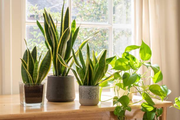 potted snake plants inside a beautiful new flat or apartment. - flora imagens e fotografias de stock