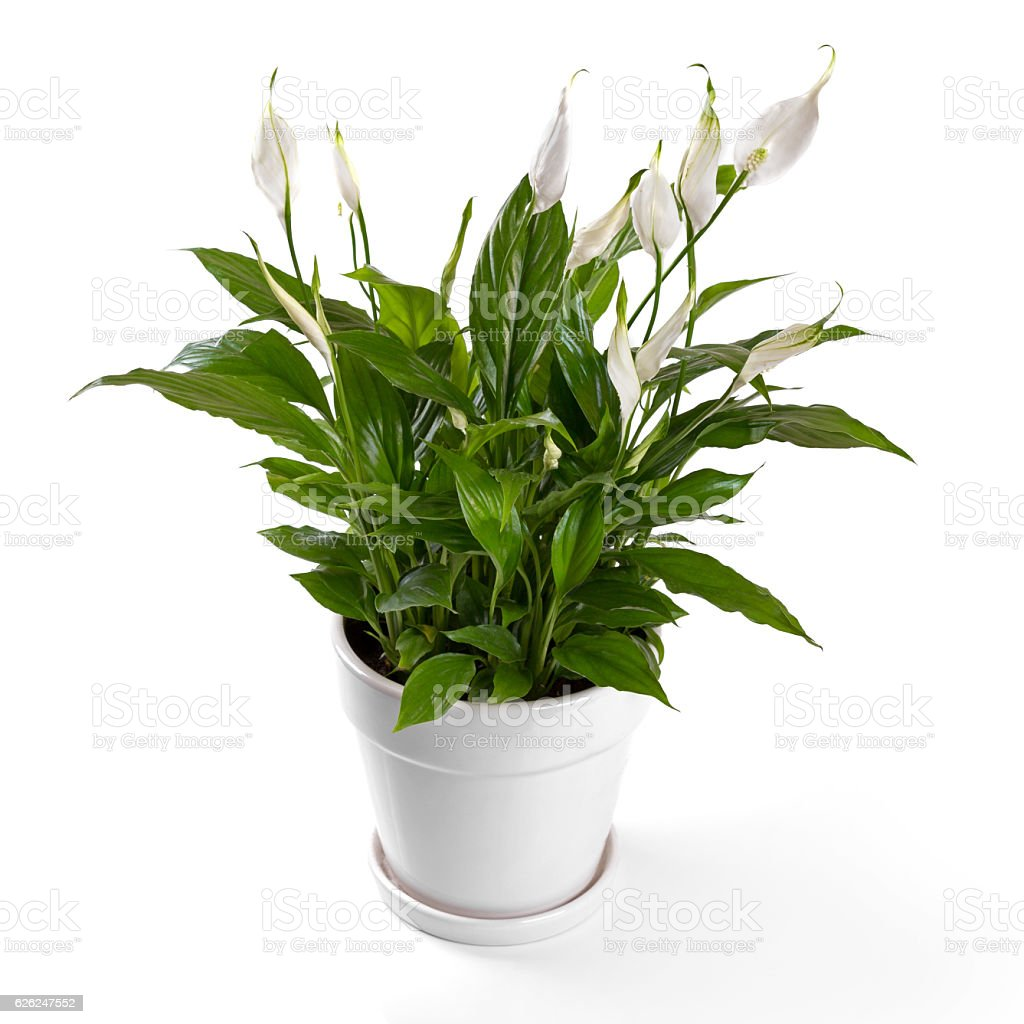 potted spathiphyllum flower isolated on white background – Foto