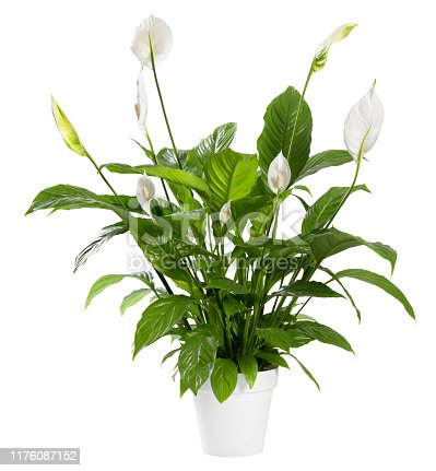 Potted Spathiphyllum plant with delicate white flowers with ornamental spathes also known as the Peace lily isolated over white background