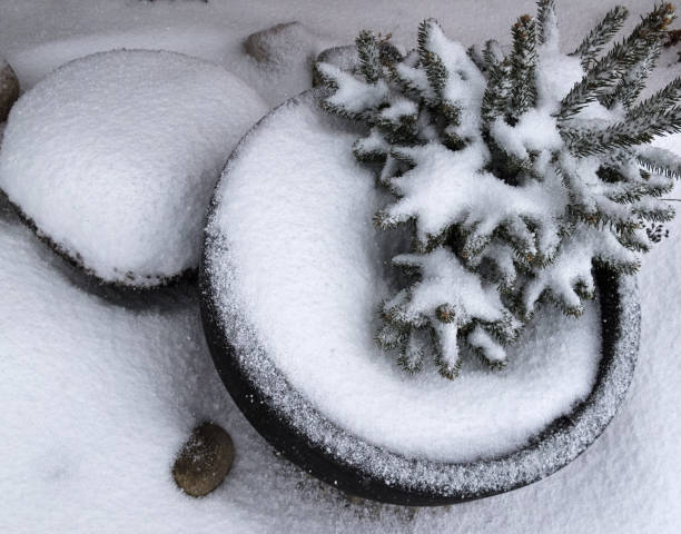 Potted tree in winter stock photo