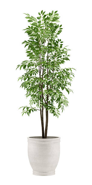 potted tree isolated on white background stock photo