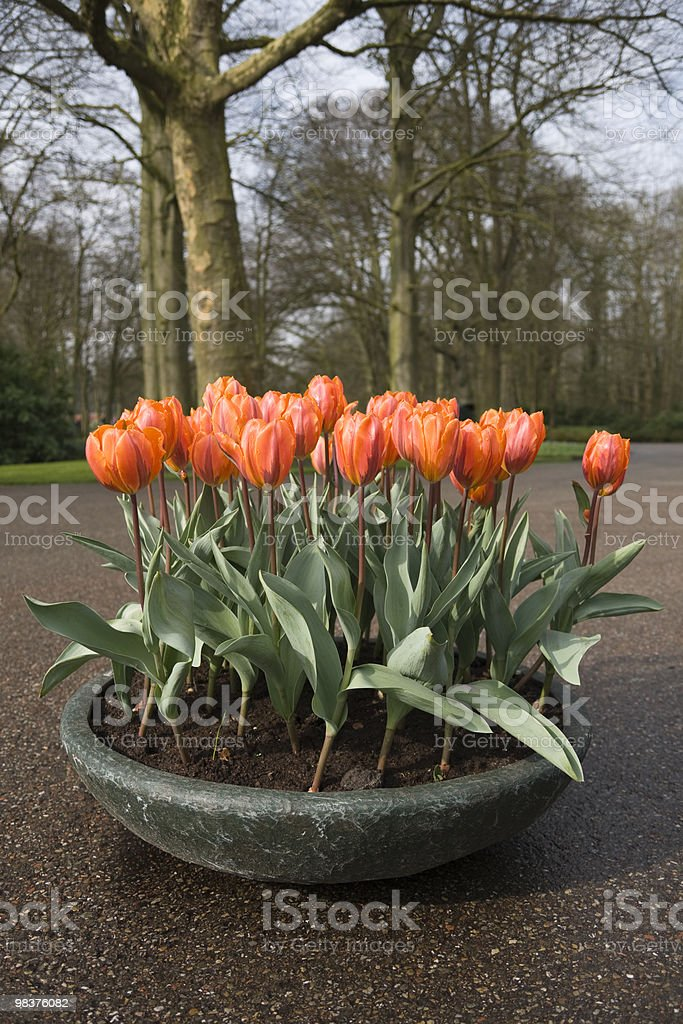 potted Tulips royalty-free stock photo