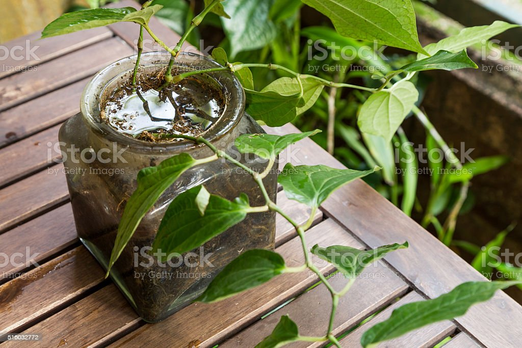 Potted vase stores stagnant water and breeding ground for mosqui stock photo