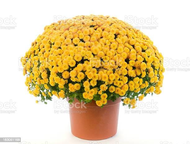 Potted yellow chrysanthemum mums picture id183061168?b=1&k=6&m=183061168&s=612x612&h=8z3vgdswdzgrhvd zsolwa18aiku9uklofabw5evo28=