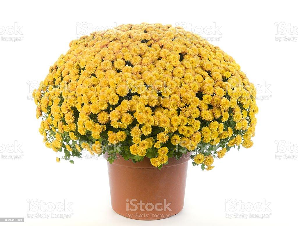 Potted Yellow Chrysanthemum - Mums stock photo