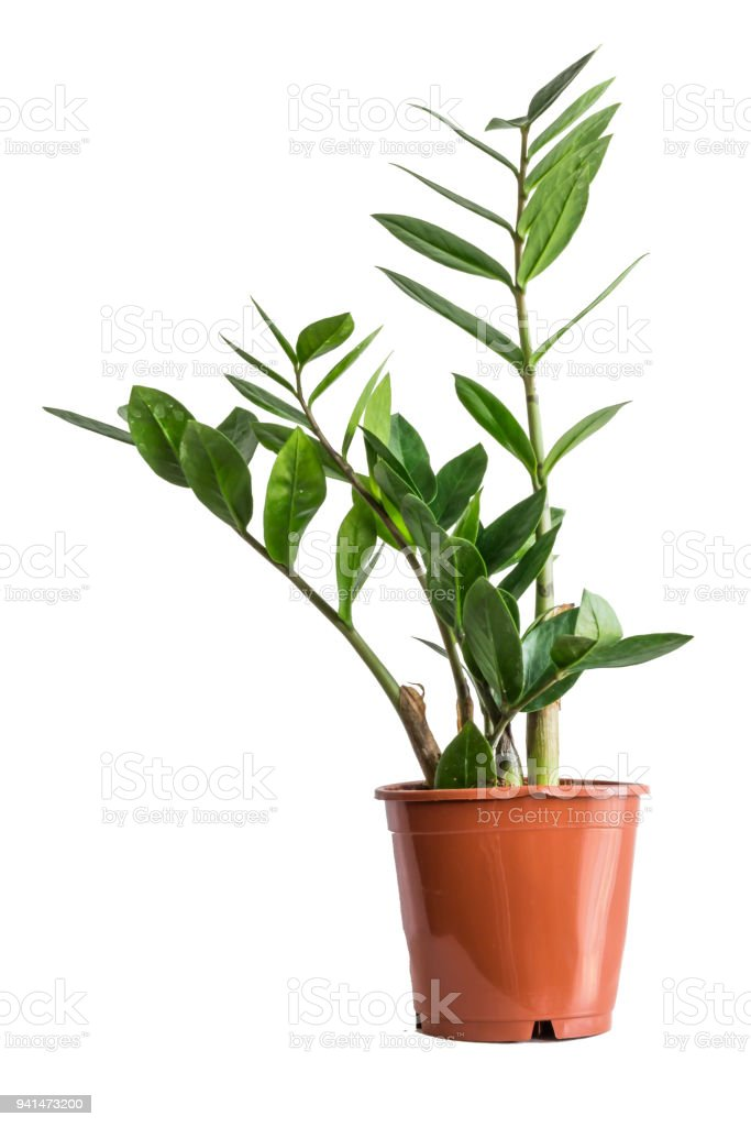 Potted zamioculcas isolated on white background. stock photo
