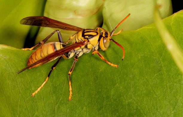 potter wespe, vespidae familie, karanji see, mysore, indien - eierstich stock-fotos und bilder