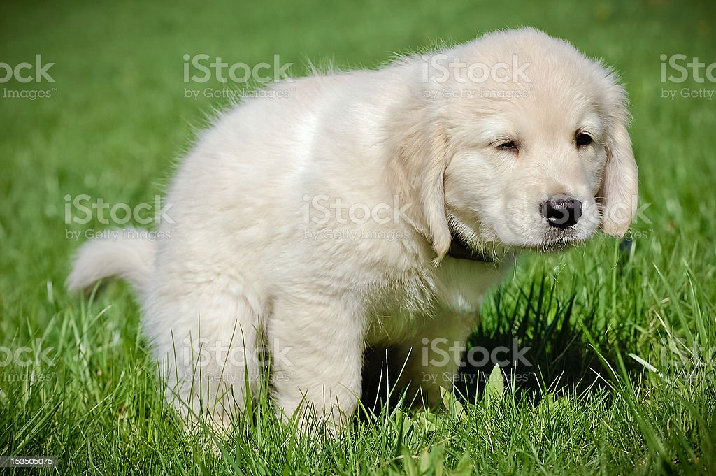 Potty training for puppy stock photo