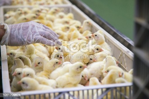chicken farm business with high farming and using technology on farming. Selecting chicken process. This is baby Chicken.