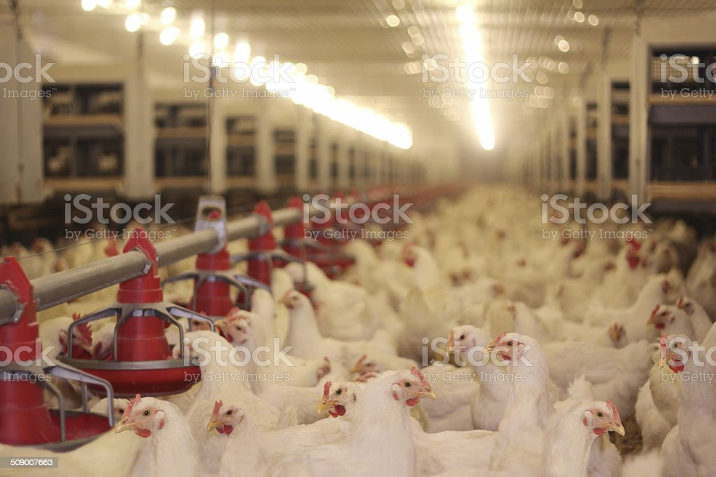 Poultry, Chicken Farm stock photo