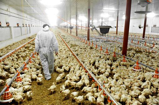 A farmer veterinary walks inside a poultry farm