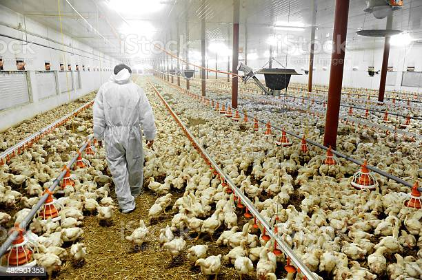 Poultry farm and a veterinary picture id482901353?b=1&k=6&m=482901353&s=612x612&h=it w7hvvuw58xqihr1syvqn7yo8jmgn7e3zattlfcgq=