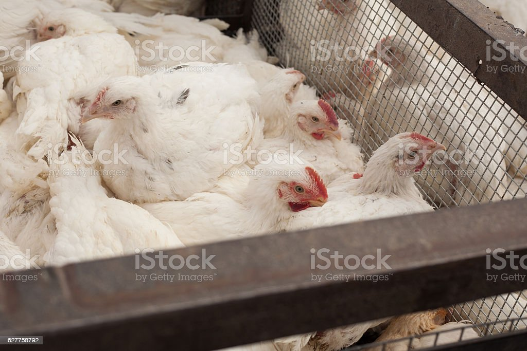 Poultry Farm. Broiler chickens in a cage. stock photo