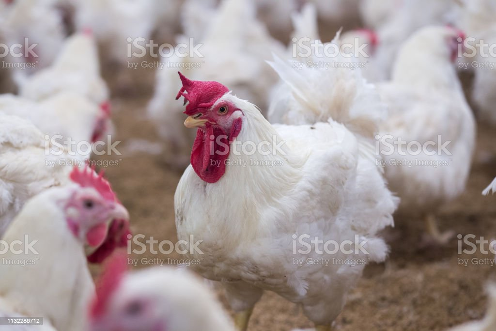 Poultry farm with chicken. Husbandry, housing business for the purpose of farming meat, White chicken Farming feed in indoor housing. Live chicken for meat and egg production inside a storage. stock photo