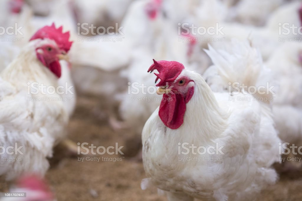 Poultry farm with chicken stock photo