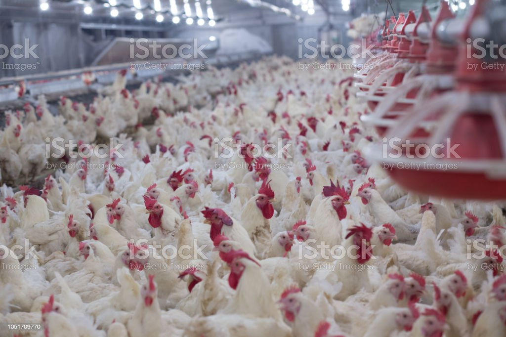 Poultry farm with chicken. stock photo