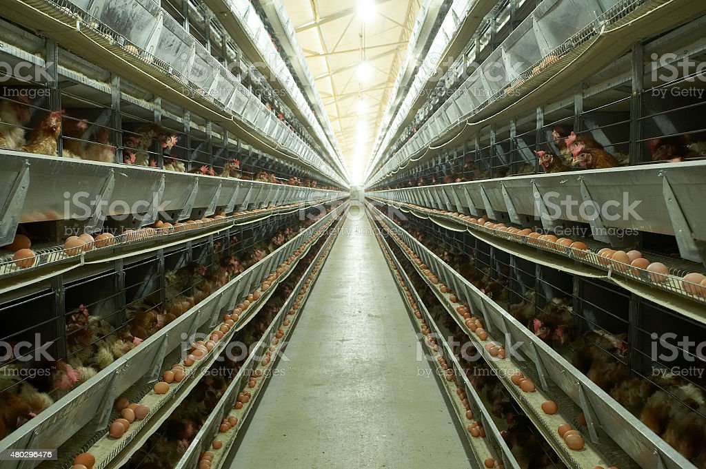 poultry farms stock photo