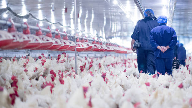 Poultry Grand Parent stock Breeding chicken Farm stock photo