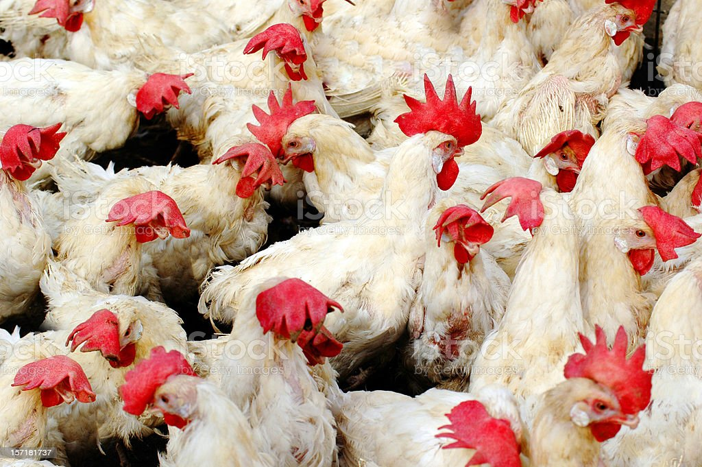 Poultry royalty-free stock photo