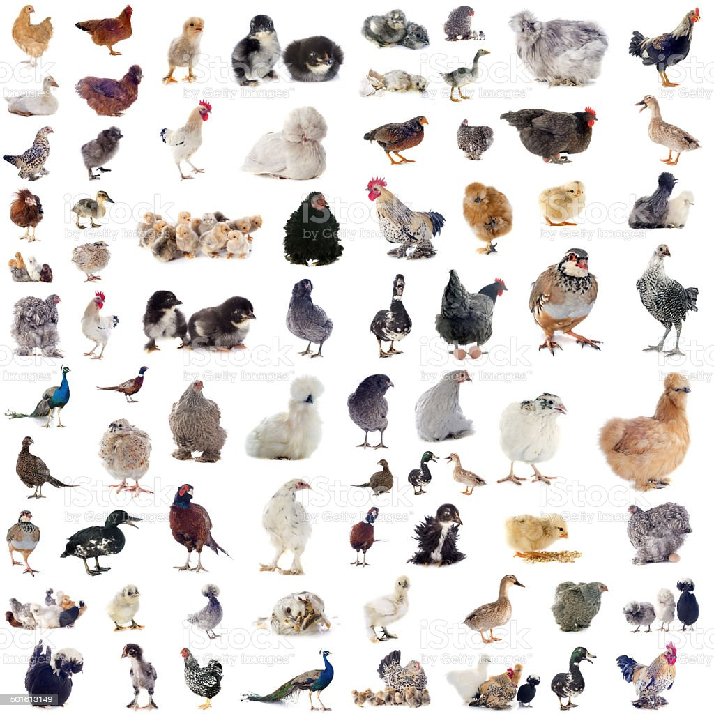 poultry stock photo