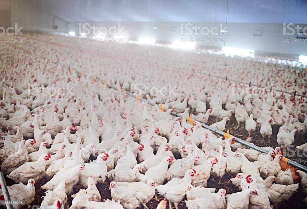 Poultry unlimited stock photo