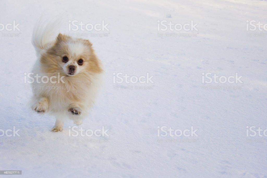 Pouncing Pomeranian on Snow stock photo