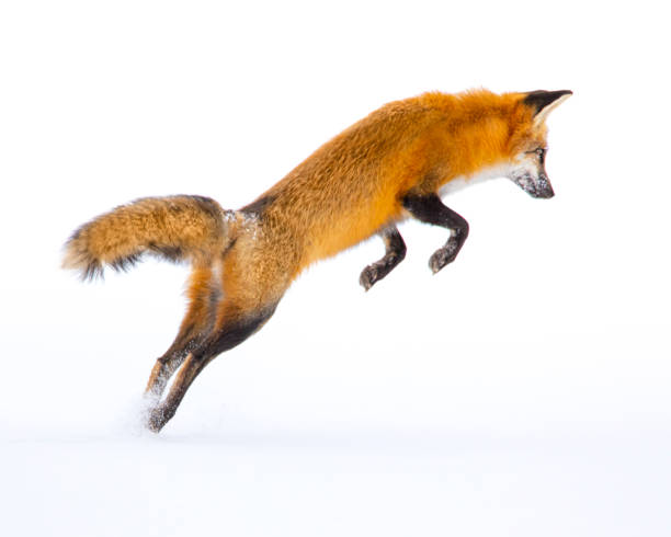 Pouncing red fox perfectly isolated on background of pure white snow stock photo