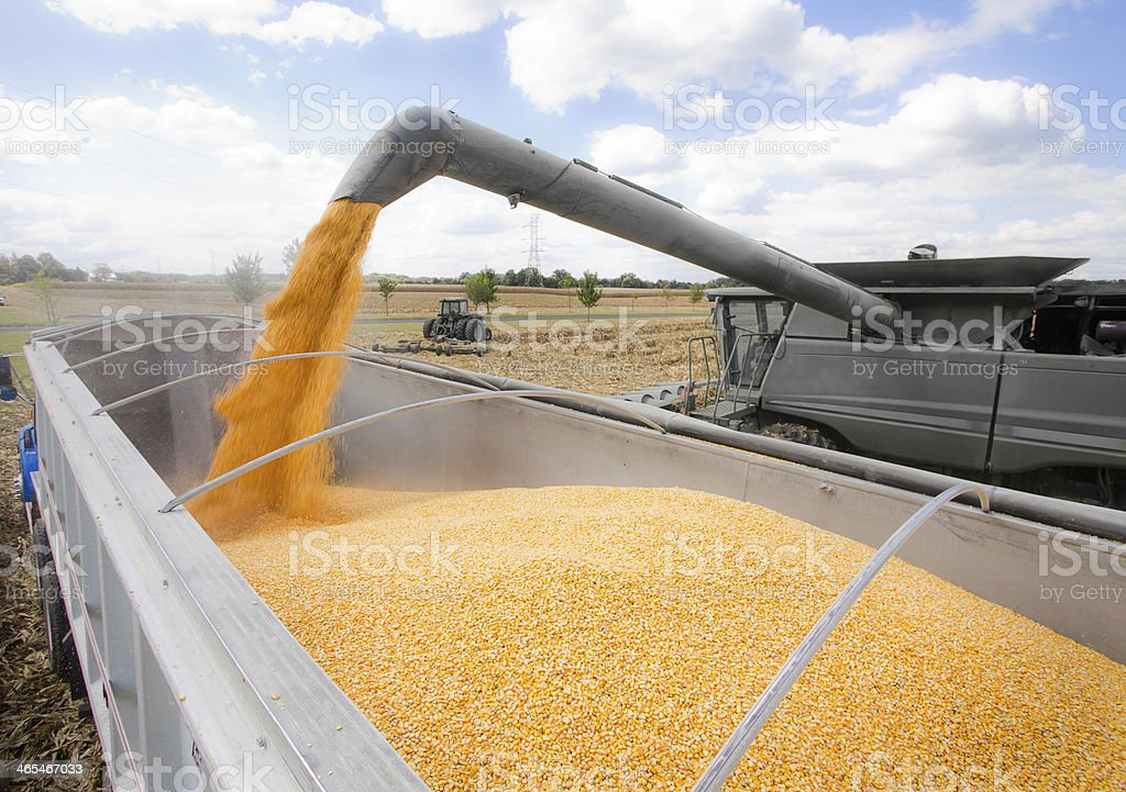 Pouring Corn at Harvest Time stock photo