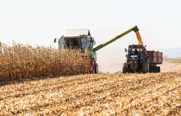 wylewanie ziarna kukurydzy do przyczepy ciągnika po zbiorach na polu - zbierać plony zdjęcia i obrazy z banku zdjęć